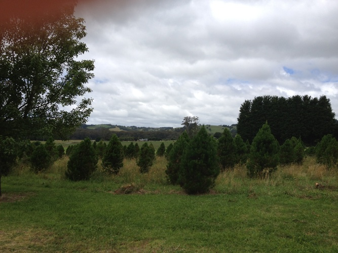 southern_highlands_christmas_trees